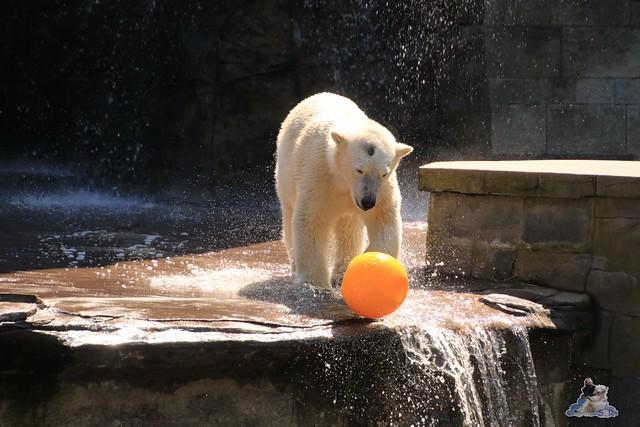 Eisbär Fiete im Zoo Rostock 04.06.2016   039