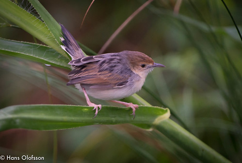 Carruthers's Cisticola  /Papyrusgrässångare (Cisticola carruthersi) | by Hans Olofsson