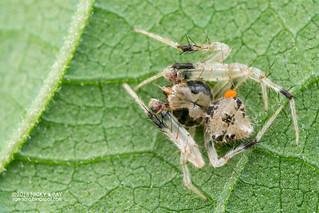 Orb weaver spider (Eriovixia sp.) - DSC_3695