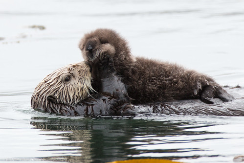 an analysis of the california or southern sea otter as the only sea otter subspecies Marine mammal protection act stock assessment report for  sea otter in california the southern sea otter sar was  occurred outside the 5-year analysis.