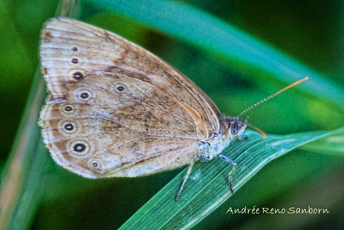 Eyed Brown (Satyrodes eurydice)