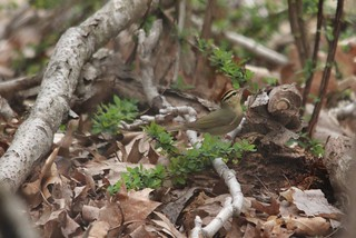 Worm-eating Warbler | by Birding In New Jersey