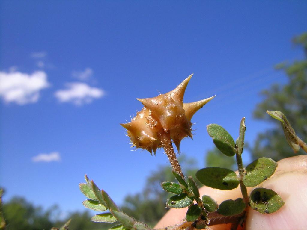 Tribulus Terrestris Fruit4 Introduced Warm Season Annual Flickr By Macleay Grass Man