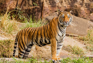 An Indian tiger in the wild. Royal, Bengal tiger | by derrickbrutel