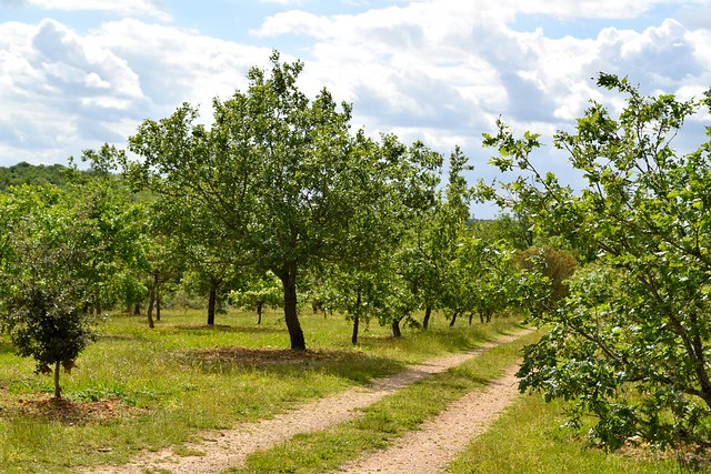 Truffle Trees in the Dordogne Valley | www.rachelphipps.com @rachelphipps