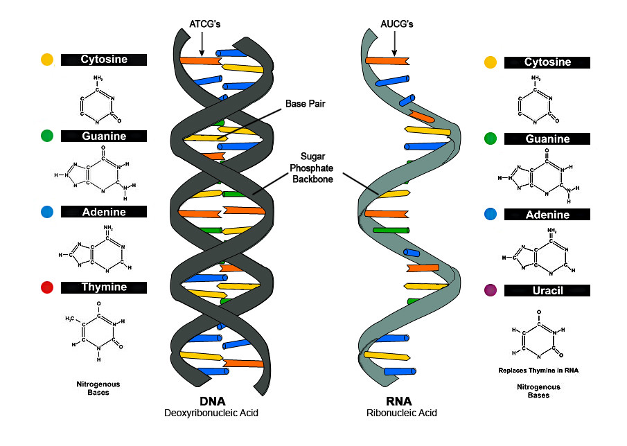 DNA vs RNA | Zappys Technology Solutions | Flickr