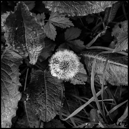 dandy in the undergrowth | temple newsam | by John FotoHouse