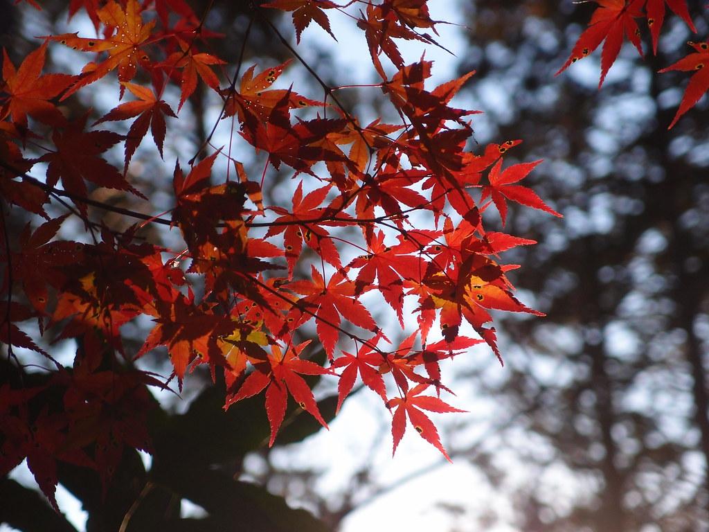 Herbstblätter Momiji Matsuri