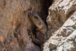 Common Chuckwalla-Sauromalus ater | by Rye Jones
