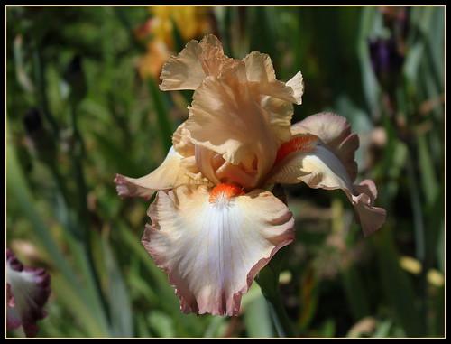 Iris semis 14-2 'Caracole' - R-L Vasquez-Poupin 27463333591_f7541a6822