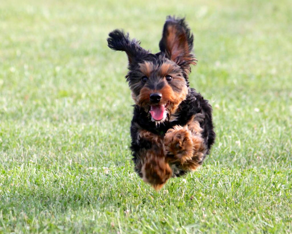 Meet Cooper The Dachshund Yorkie Puppy Lower Allen Dog Flickr