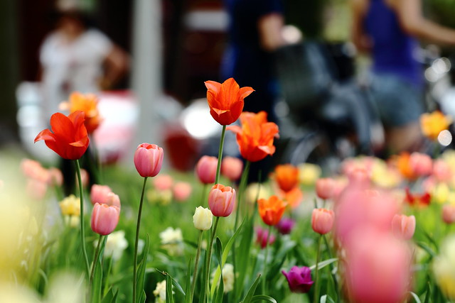 Tulips May 2016_056a