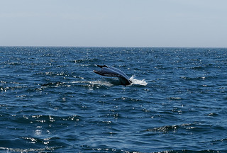 Whale In Bay Of Fundy | by baldheretic