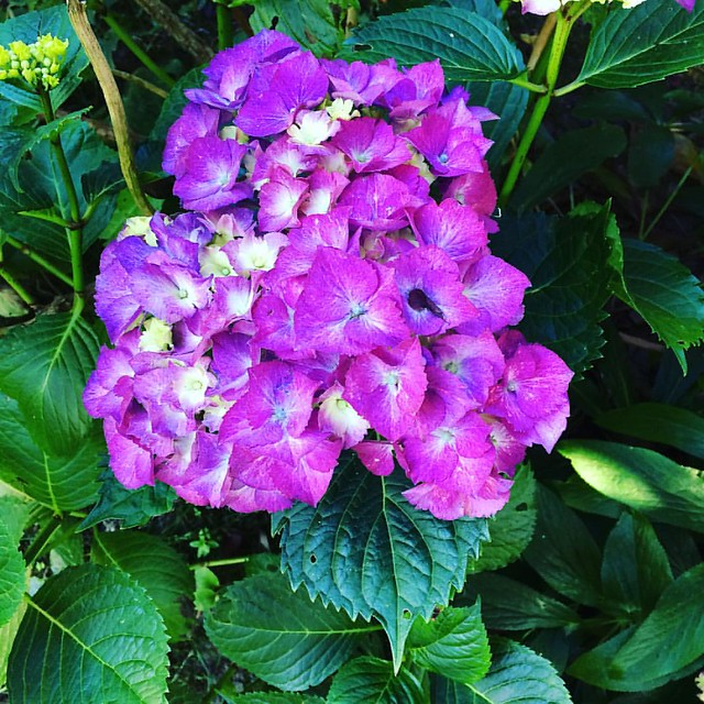 Feeeeling this electric purple hydrangea in the backyard. 💜