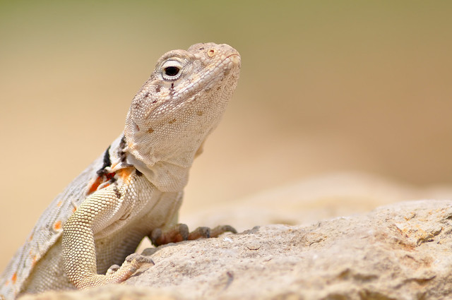 Eastern Collared Lizard #01 mm