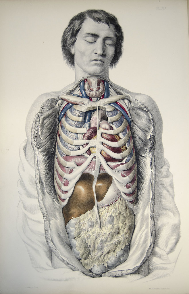 internal organs and ribcage (front view) | Plate 19 from Med… | Flickr