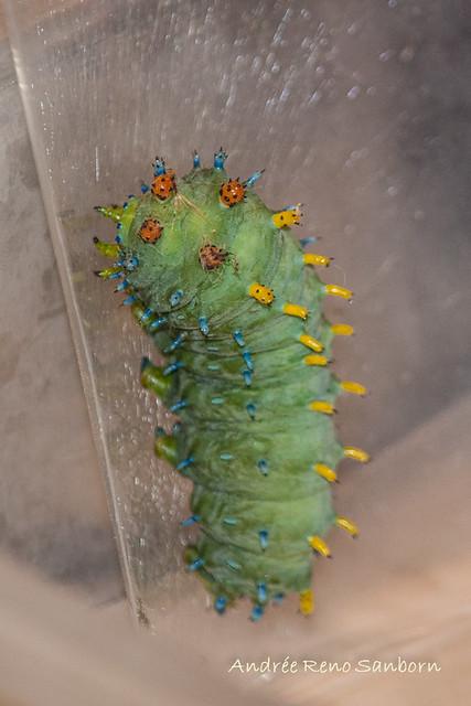 Cecropia Moth - Hodges#7767 (Hyalophora cecropia)