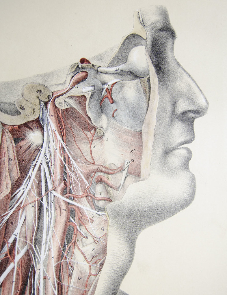 Arteries And Nerves Of The Face And Neck Plate 24 Neck F Flickr