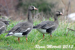 Greater White-fronted Geese | by rjm284