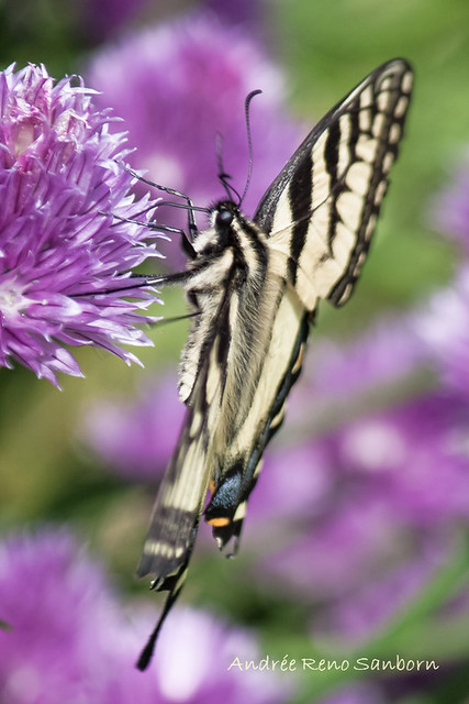 Canadian Tiger Swallowtail (Papilio glaucus canadensis)