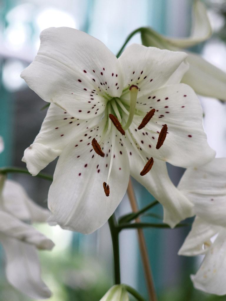 Kuvahaun tulos haulle lilium white twinkle