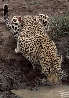 Leopard. credit Kirstin Abley copy 2 | by Oregon State University