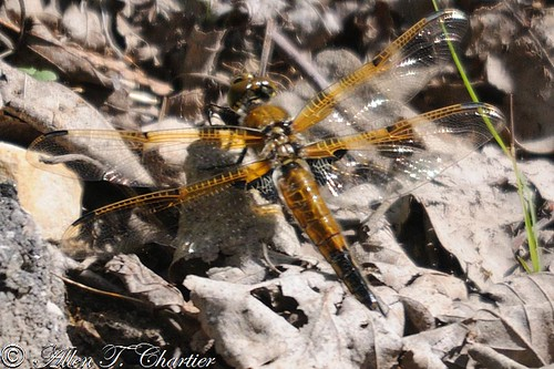 Libellula quadrimaculata (Four-spotted Skimmer)