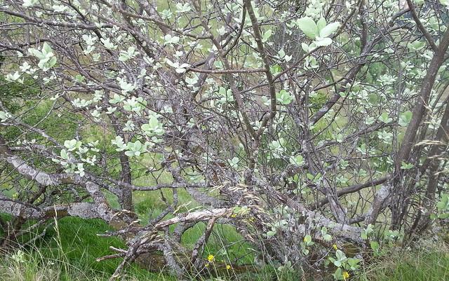 Hostazuria (Sorbus aria)