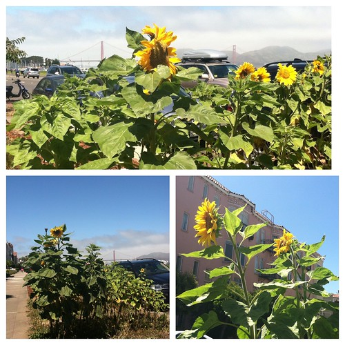 Sunflowers in San Francisco | by queenkv