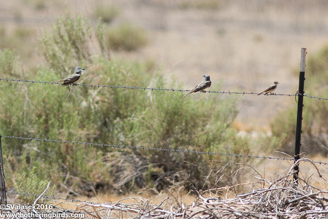 Tropical Kingbirds and Say's Phoebe