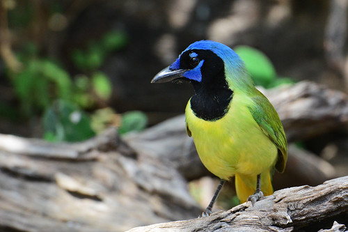 RGVBF: Green Jay in all Its Colors | by donna lynn