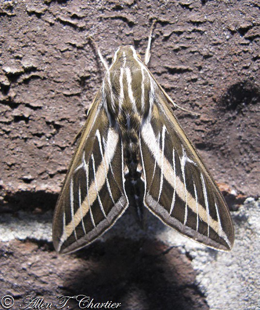 Hyles lineata (White-lined Sphinx)