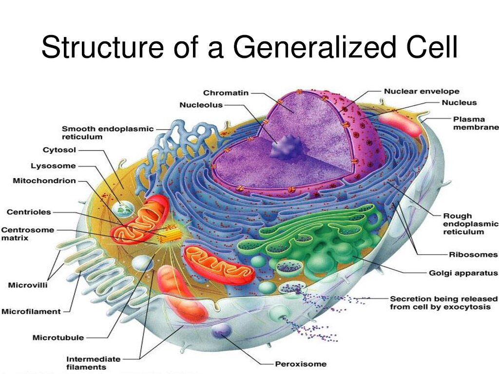 structure of a generalised cell detailed diagram of a gene flickr rh flickr com detailed animal cell diagram labeled detailed animal cell diagram labeled