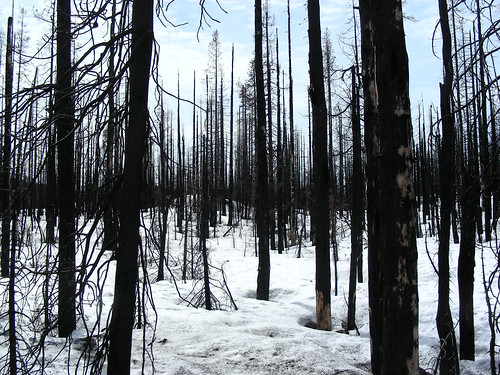 The charred forest | by Oregon State University