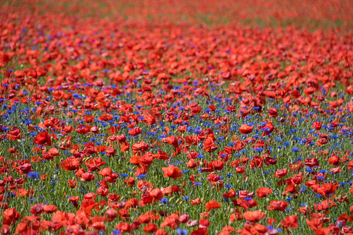 Poppies with cornflowers | by Infomastern
