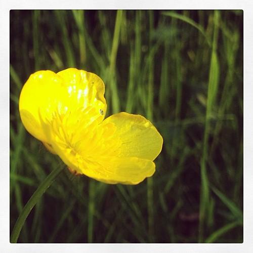 bouton d 39 or renoncule buttercup plante fleur or ja flickr. Black Bedroom Furniture Sets. Home Design Ideas