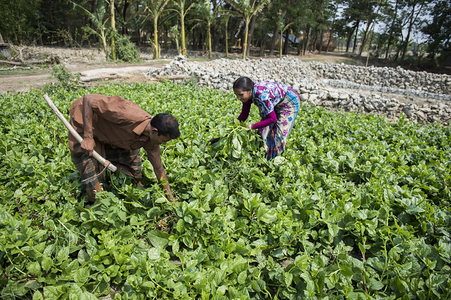 Putul rani and her husband working their vegetable field in Bangladesh. Foto Agencies, 2016.