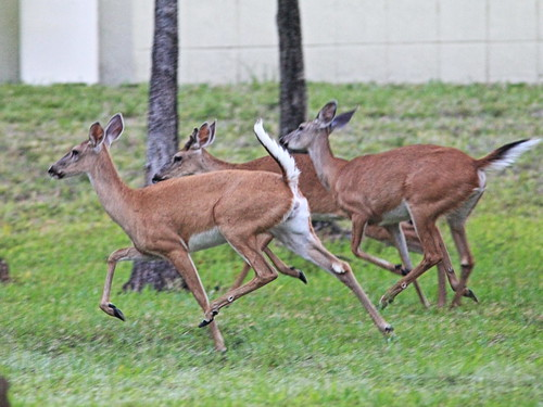 White-tailed Deer running 2-20160530