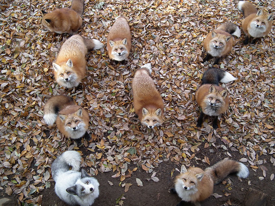 zao-fox-village-japan-34 kitsune
