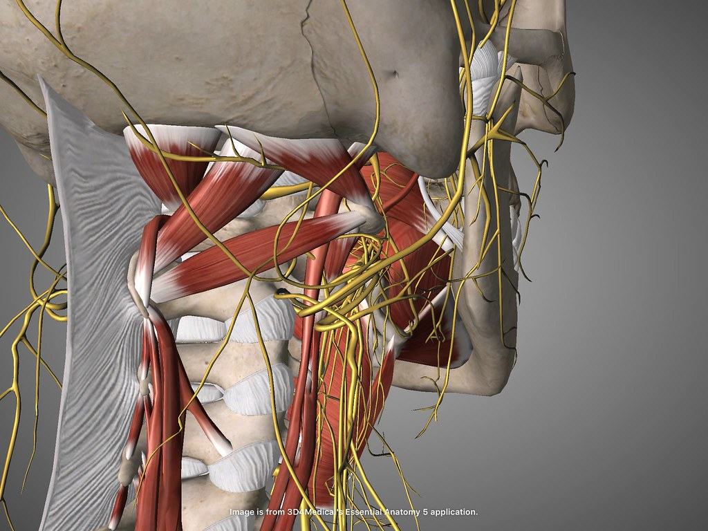 Vagus Nerve Anatomy Image collections - human anatomy organs diagram