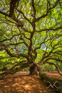 Angel Oak Tree Portrait