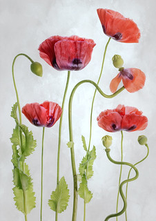 Poppies | by Mandy Disher