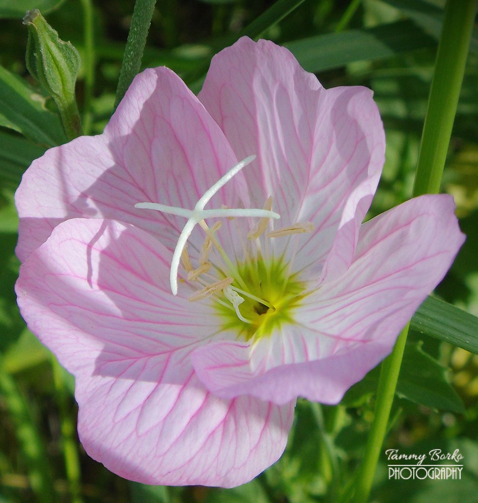 Pink primrose flower tammy borko flickr pink primrose flower by tammy borko photography mightylinksfo