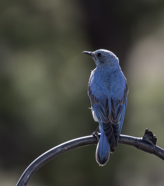 Mountain Bluebird 5-7D2-270616