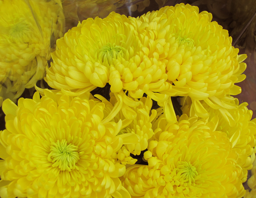 Yellow Mum Flower Shaireproductions Flickr