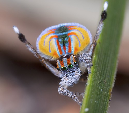_MG_2945 (7) peacock spider Maratus volans for Wikipedia | by Jurgen Otto