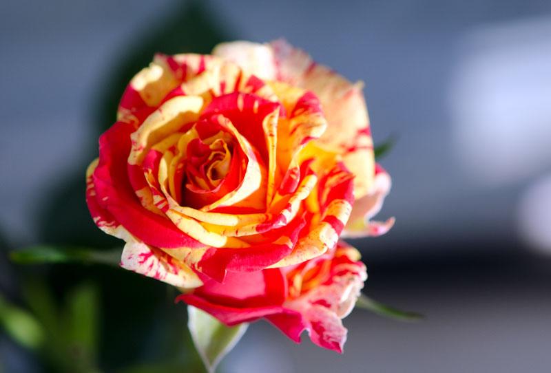 624 Une Rose Pour Tous Mes Amis Petite Fleur Flickr
