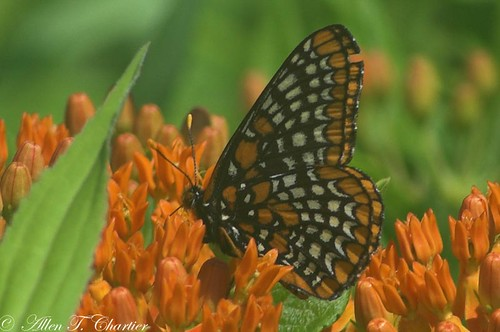 Euphydryas phaeton (Baltimore Checkerspot)