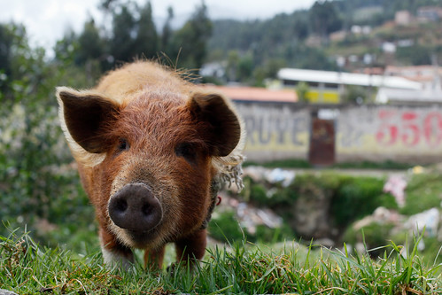 Oi Oi, Piggy in Peru | by Geraint Rowland Photography