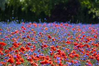 Poppies and cornflowers (Explore 2016-06-09) | by Infomastern